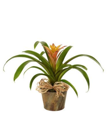 Bromeliad Beauty - Oxygen Producer