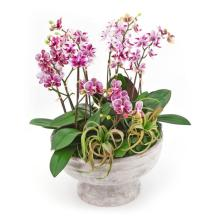 Orchids Galore - Local Delivery Only